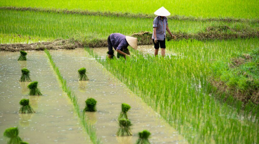 rice crop Vietnam