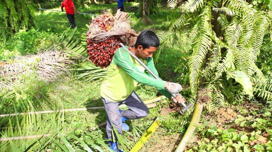 palm oil plantation worker carrying a harvested crop