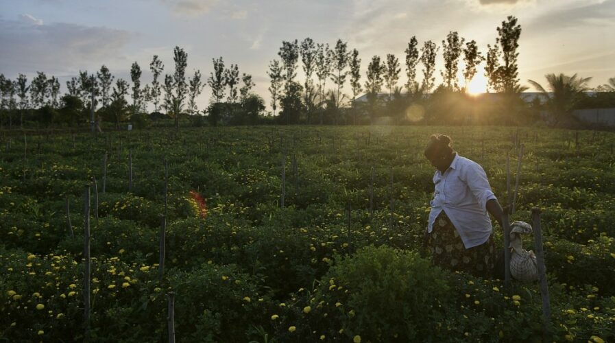 With AI applications across the supply chain in the traditionally manual agriculture sector may pave the way for a better life for farmers. (Photo by Manjunath Kiran / AFP)